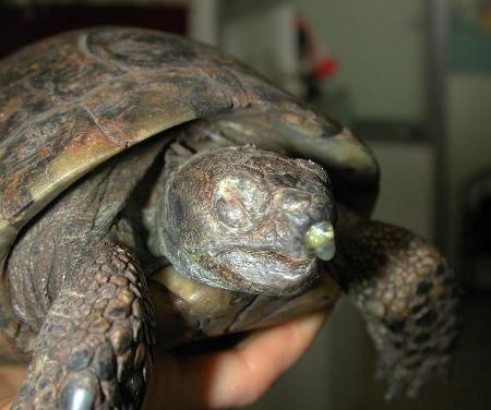 Il letargo nelle tartarughe mediterranee aae onlus for Tartarughe di terra prezzo basso