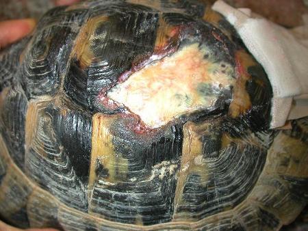 Grazie alle cure ricevute, la tartaruga è guarita: in questa immagine si vede la corazza in fase avanzata di guarigione.