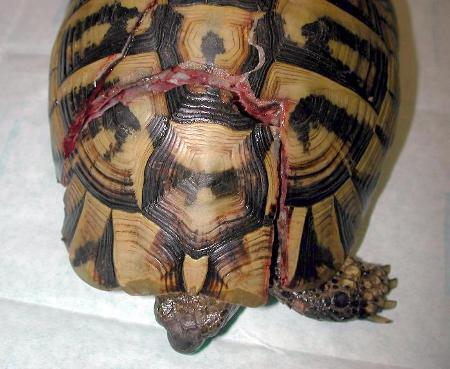 Tartaruga con fratture della corazza causate dallo schiacciamento di un'automobile.