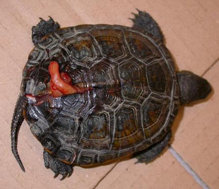 Tartaruga palustre europea schiacciata da un'automobile mentre vagava su una strada.