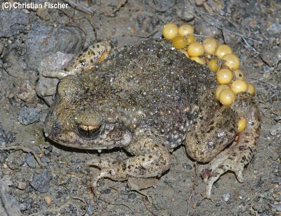 Maschio di Alytes obstetricans, il rospo ostetrico, con le uova appena deposte