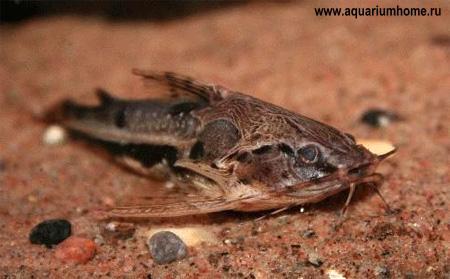 Siluriformi o pesci gatto ordine siluriformes aae onlus for Pesci di fiume