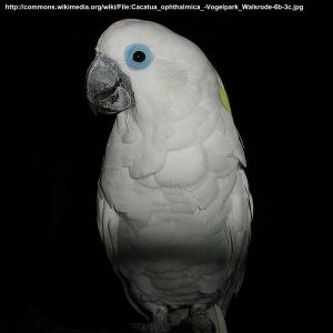 Cacatua_ophthalmica