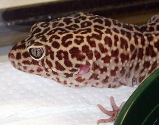 Condotto uditivo di geco leopardino