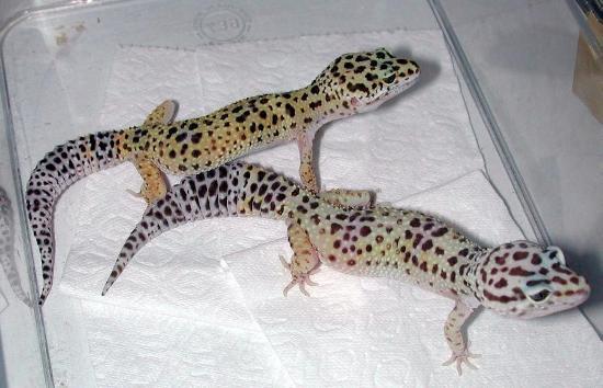 Il geco leopardino è una delle specie in cui la coda ha la funzione di riserva di grasso