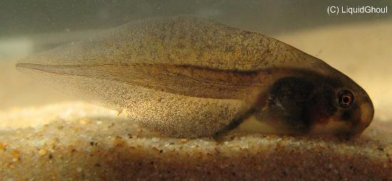 Girino di rana Paracrinia haswell
