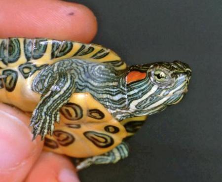 La stessa tartarughine dopo la cura, ormai guarita.