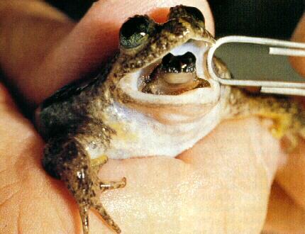 Una rana del genere Rheobatracus, con un piccolo che sta per uscire dalla bocca dopo essersi sviluppato nello stomaco della madre