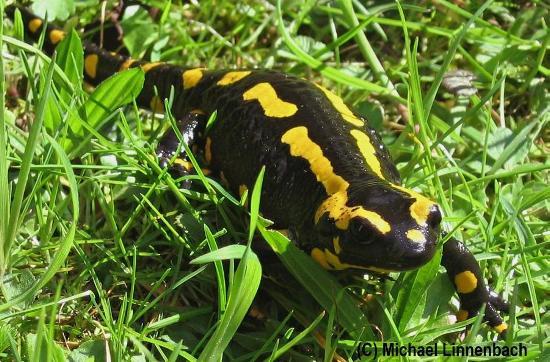 Salamandra salamandra, salamandra pezzata, diffusa nel territorio italiano