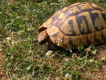 Le tartarughe terrestri dovrebbero alimentarsi solo con erbe e piante che crescono spontaneamente.