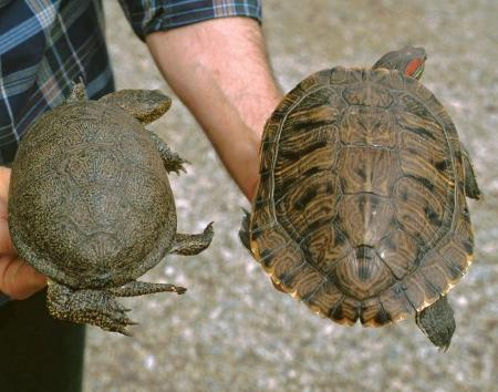 Tartarughe 10 miti da sfatare aae onlus for Depuratore acquario tartarughe