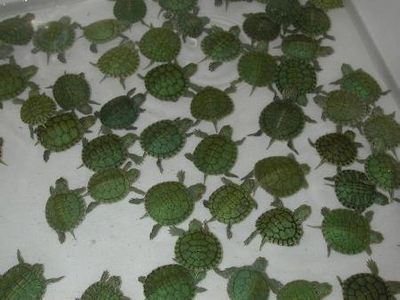 Le tartarughine acquatiche sono state esportate dagli Stati Uniti a centinaia di migliaia in tutto il mondo. Per la maggior parte sono morte a pochi mesi di età o sono state abbandonate in qualche corso d'acqua
