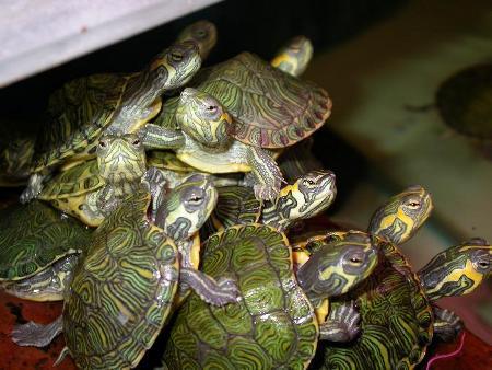 Le piccole tartarughe in vendita nei negozi sono animali molto giovani, destinate a crescere.