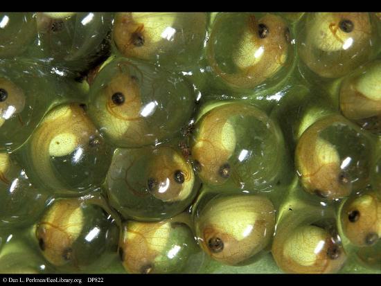 Girini che si stanno sviluppando nelle uova