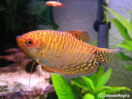 Trichogaster_trichopterus