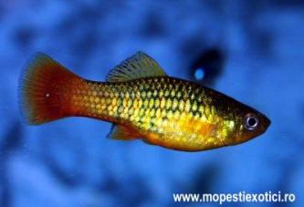 Xiphophorus_maculatus2