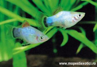 Xiphophorus_maculatus4