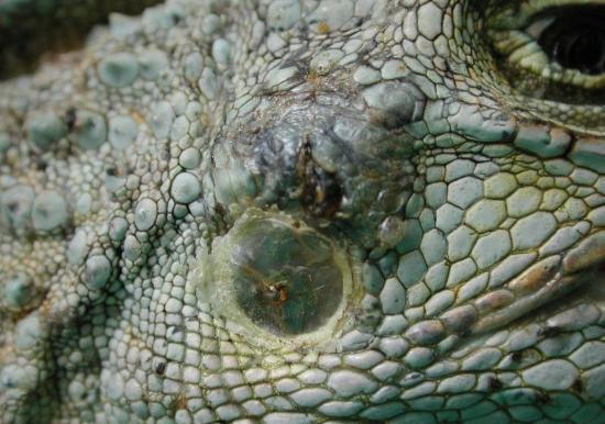 Timpano di iguana
