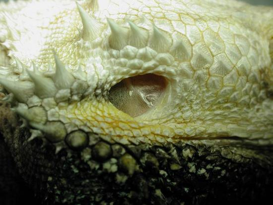 Orecchio di pogona. Il condotto uditivo è molto breve e si osserva chiaramente la membrana timpanica
