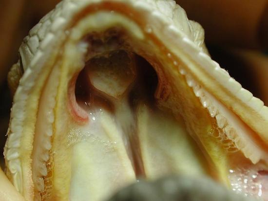Volta della cavità orale (pogona). Si osservano le due fessure che mettono in comunicazione le narici con la cavità orale.