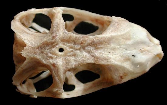 Parte superiore di cranio di iguana. Il foro al centro corrisponde all'occhio parietale