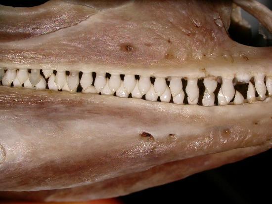 Preparato anatomico del cranio di una iguana: particolare dei denti