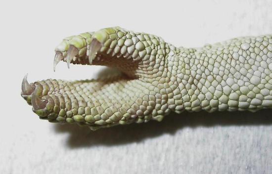 Particolare della mano di un camaleonte
