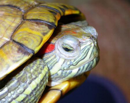 La stessa tartaruga dopo 10 giorni l'inizio della terapia: gli occhi stanno tornando alla normalità