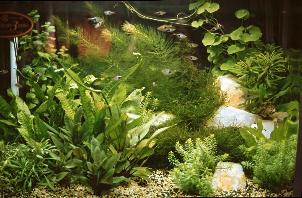 Piante Per Acquario Tropicale : L acquario tropicale d acqua dolce aae onlus