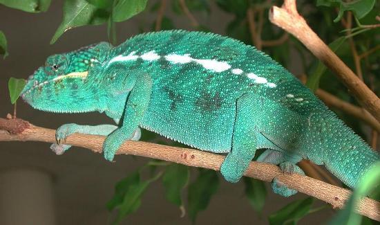 Nei camaleonti lo scheletro presenta delle caratteristiche uniche. E' appiattito in senso laterale (anziché in senso dorsoventrale) e le dita sono modificate, unite tra loro per facilitare la presa sui rami