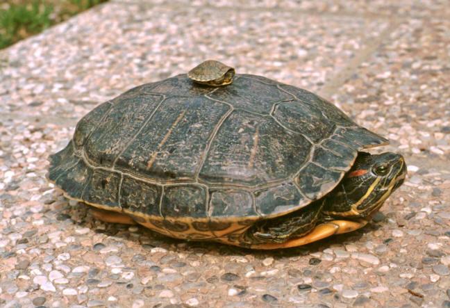 Campagna contro l abbandono delle tartarughe d acqua aae for Cerco acquario per tartarughe
