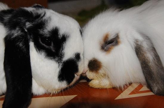 sterilizzazione conigli