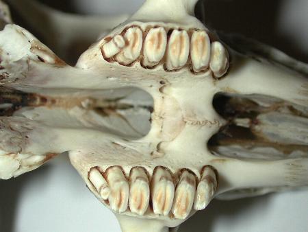 Aspetto normale dei molariformi superiori
