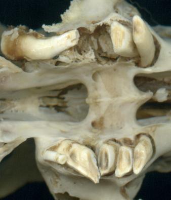 Molariformi affetti da grave malocclusione