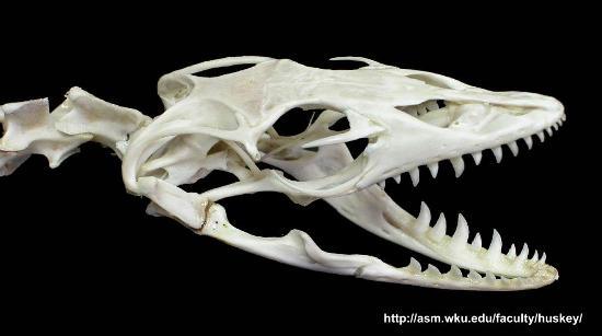 Cranio di varano, con una dentatura di tipo pleurodonte