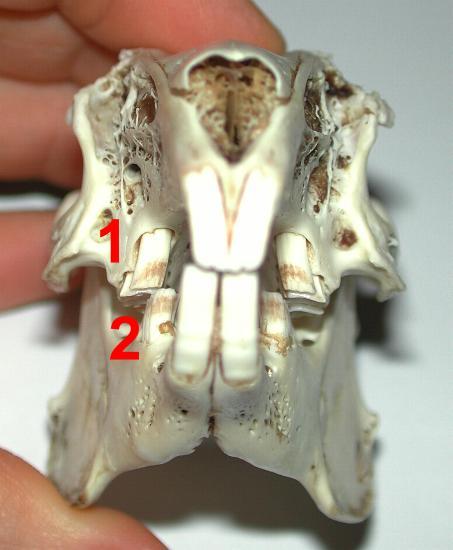 Questa immagine mostra la normale inclinazione dei denti molariformi: i denti superiori (1) sono leggermente inclinati verso l'esterno e quelli inferiori (2) verso l'interno della bocca.