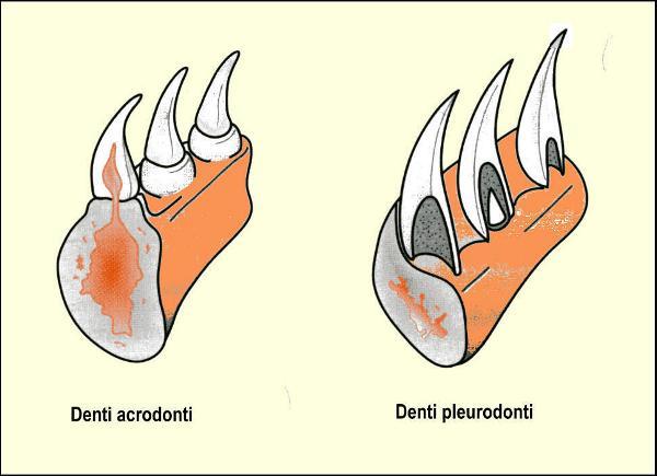 Rappresentazione schematica della struttura dei denti acrodonti e pleurodonti