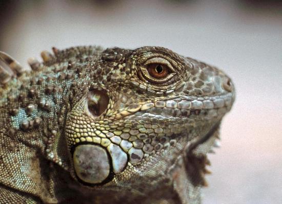 L'iguana, come la maggior parte dei sauri, possiede palpebre mobili