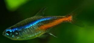 neontetra
