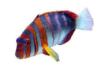 pesce5