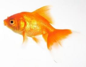 Pesce rosso aae onlus for Dove comprare pesci rossi