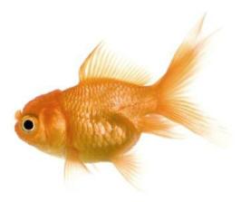 Pesce rosso aae onlus for Pesci per laghetti esterni