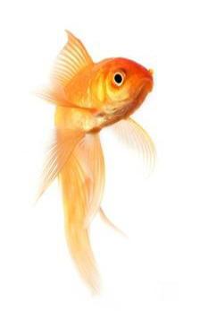 pesce_rosso3