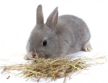 rabbit_eating_hay