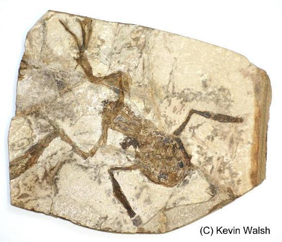 Fossile di anuro, molto simile agli anuri attuali