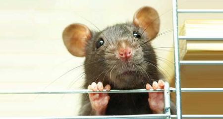ratto gabbia