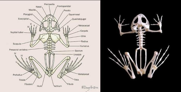 Scheletro di anuro, rappresentazione schematica e preparato anatomico