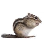 scoiattolo min