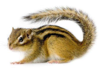 scoiattolo1