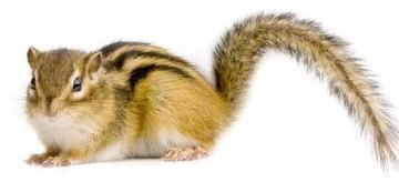 scoiattolo2